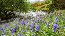 Rannerdale Bluebells TREVOR EARTHY