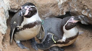 Pip was born to Humboldt penguins Charlie and Jerome.