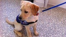 This puppy will one day be an assistance dog to help a disabled person