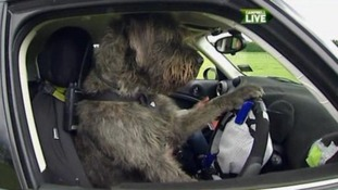 Man's best friend learns to drive a car