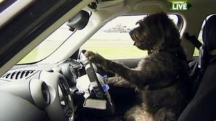One of the three dogs who complete the training to drive