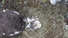 Bassenthwaite ospreys welcome third chick
