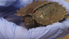 Moment spiny hill turtle emerges from shell