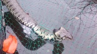 The tangled grass snake found in Suffolk.