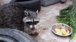 The raccoon that got into a couple's home through a catflap