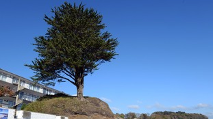 Giant Welsh tree saved from the chop, but experts warn it could still collapse