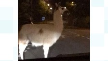 Llama on the loose caught by police