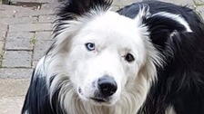 Sheepdog Blake returns home without lamb Bella