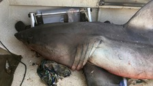 Great white shark jumps on fisherman's boat