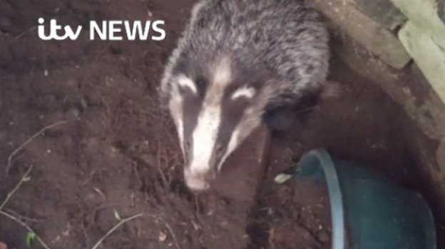 Badger_rescue