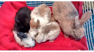 Rabbits rescued after being dumped at the side of the road
