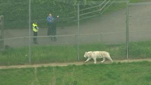 A tiger at Hamerton Zoo Park in Cambridgeshire.