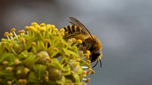 Solitary bees are unlike honeybees and bumblebees.