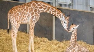 Arrow belongs to the extremely rare Rothschild's breed of giraffe.