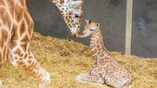 Endangered giraffe calf born at Woburn Safari Park