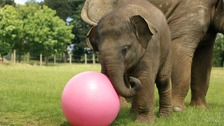 Elizabeth the baby elephant and her new football.