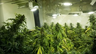 1427 cannabis plants were found at the property