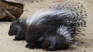 Porcupine twins