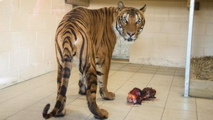 Zoo name tiger involved in fatal attack on keeper