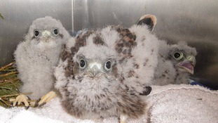 Orphaned kestrels being nursed back to health