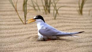 Rare bird conservation project suffers 'devastating' damage