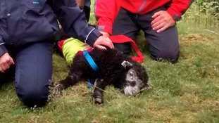 A close shave: Lamb rescued from 40ft quarry tunnel