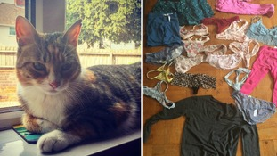 Pumpkin the cat has been on a stealing spree, bringing home fresh garments every day