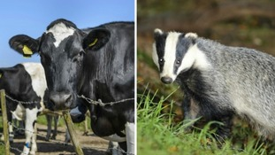 Humanely killing badgers with TB now an option