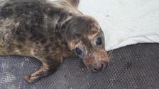 GSPCA 'devastated' as rescued seal pup dies