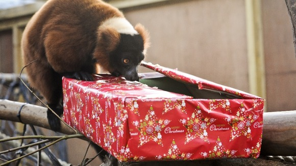 Trevor the Red-ruffed lemur, investigates a Christmas present from the staff at Bristol Zoo Gardens