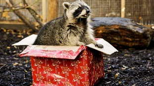 Rocky the raccoon climbs into the box containing a mixture of food treats.