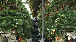 Fruit pickers at Wilkin & Sons in Tiptree picking strawberries.