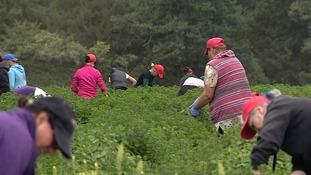 Seasonal workers at Kemp Herbs and Salads.