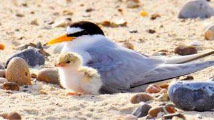 10 rare eggs stolen off the Suffolk Coast