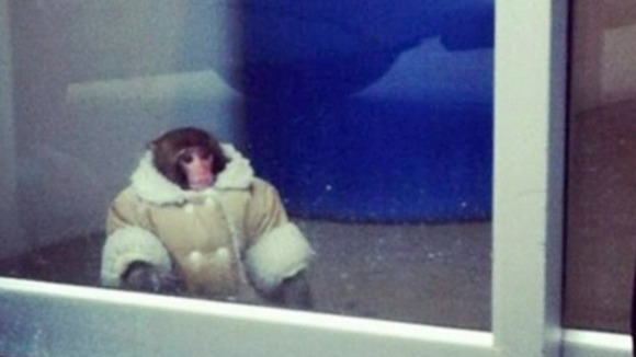 Darwin the rhesus macaque monkey at Ikea