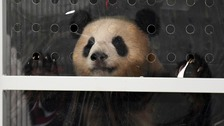 Panda-monium as Berlin greets 'Darling' and 'Sweet Dream'
