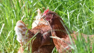 Guernsey Police are appealing for information after six chickens were reported missing.
