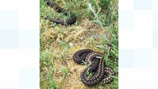 Adders spotted on trail in Dumfries and Galloway park