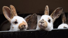 Guernsey rabbits hit by fatal viral disease