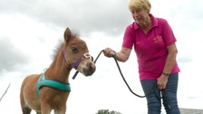 Miniature horse being trained as UK's first guide horse
