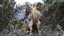 Hen harrier chicks