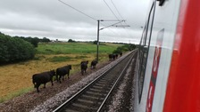 Udder chaos as stray cows bring train services to a standstill