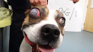 Hooch suffered from a congenital eye condition which had gone untreated