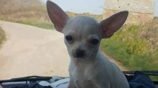 Search for Chihuahua stolen in Newquay
