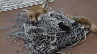 Fox in netting