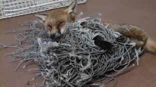 Fox in netting