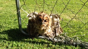 Owl in netting