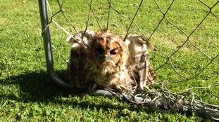 Owl in netting