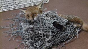 RSPCA concern over animals getting tangled in netting