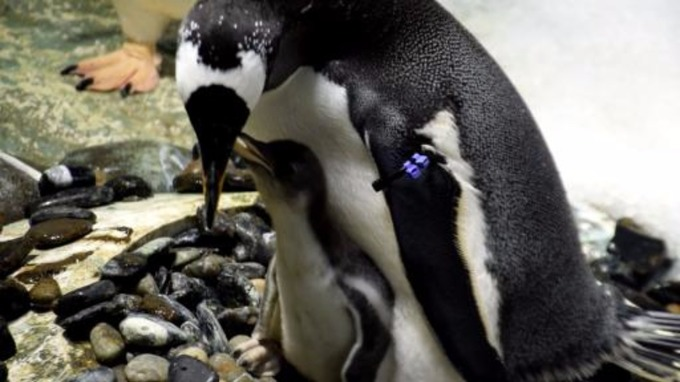 gentoo penguin first baby gentoo penguin for national sea life centre central